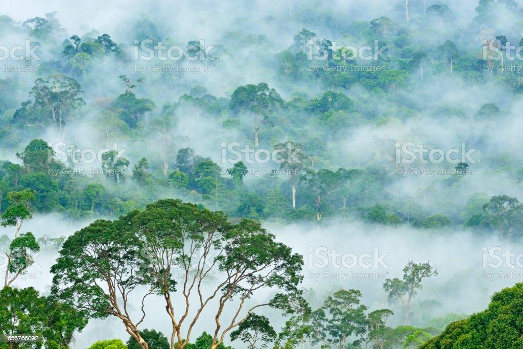 Rain Forest in Danum Valley, Sabah Borneo, Malaysia. stock photo