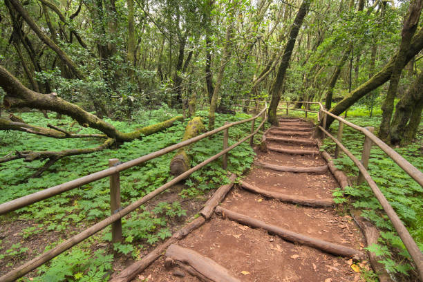 rain forest in garajonay national park, la gomera, spain. - wildlife conservation stock photos and pictures