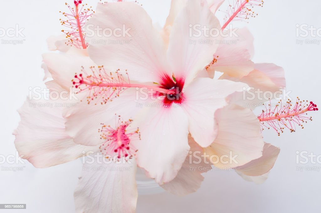 Rain fresh hibiscus in glass - Стоковые фото Белый роялти-фри