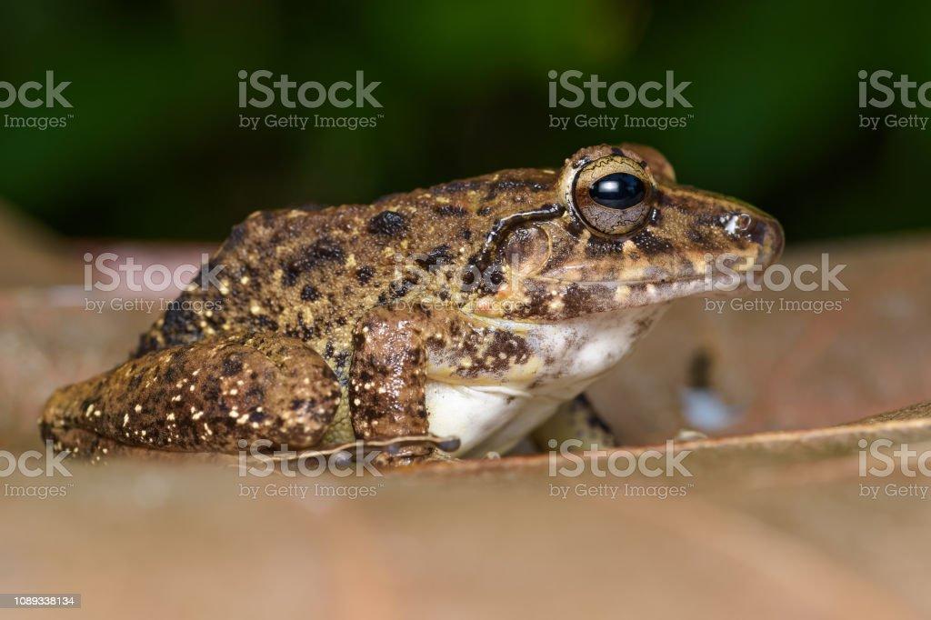 Regen-Frosch – Foto