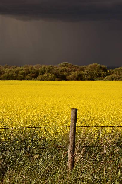 Rain front approaching Saskatchewan canola crop stock photo
