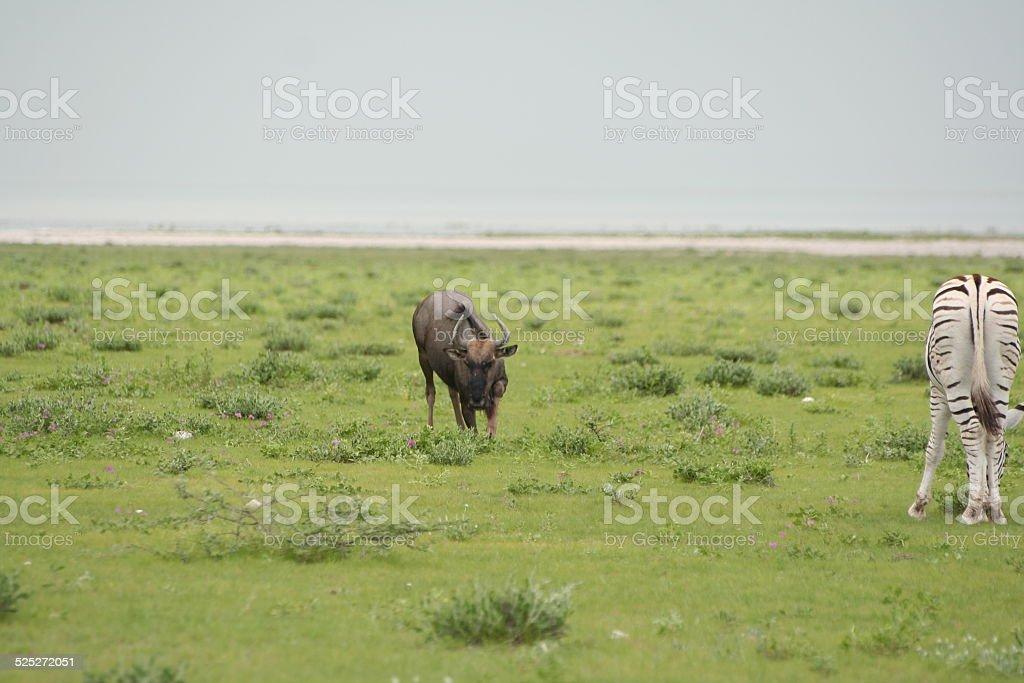 Rain in Etosha NP, Wildebeest and Zebra, Green Savannah, Namibia stock photo