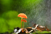 Rain is falling on orange mushrooms, Marasmius siccus or umbrella mushroom