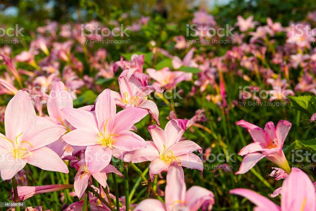 Rain Lily field - 3 stock photo