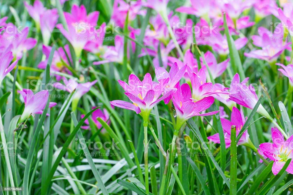 Rain lily flower in garden stock photo
