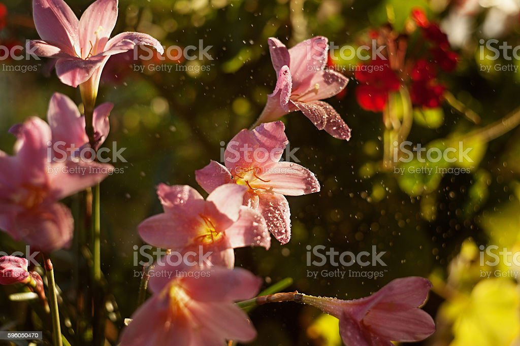 Rain Lily flower (Zephyranthes). Soft focus. royalty-free stock photo