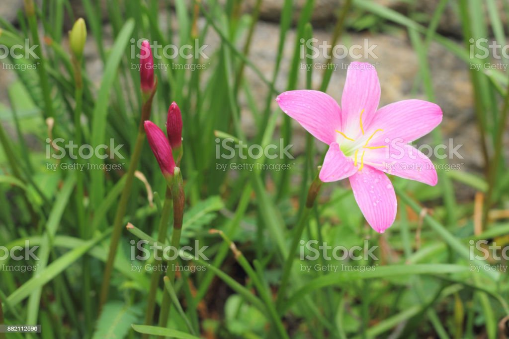 Rain Lily or Zephyranthes Lily stock photo