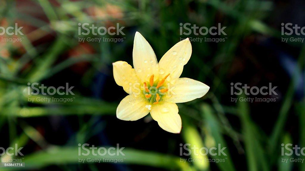 Rain Lily stock photo