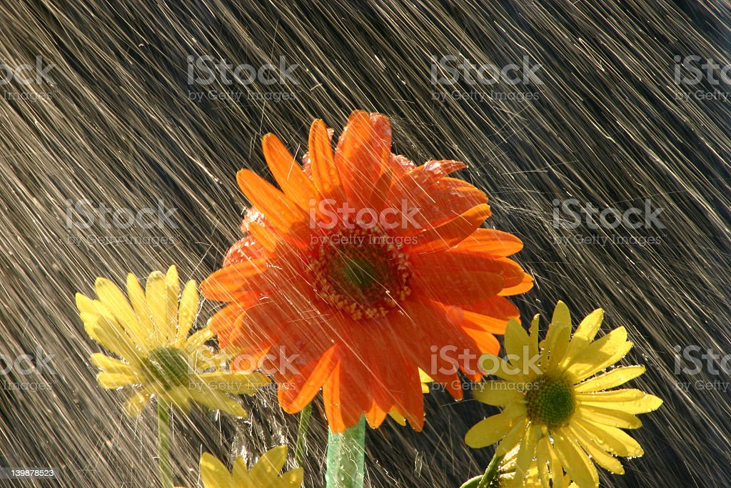 Rain on one orange flower with two yellow ones on side royalty-free stock photo
