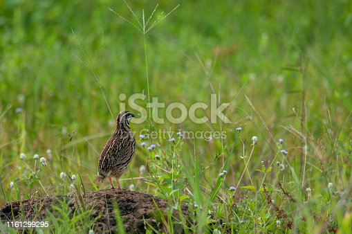 Rain Quail; Coturnix coromandel standing and calling for the female on the rock in the field