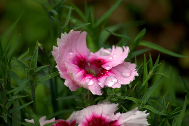 Chuva viu flor de cravo, rosa. - foto de acervo