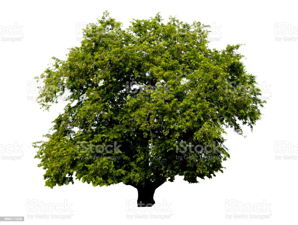 Rain trees : isolated tree on white background, Large trees are growing in summer, making the trunk big. The collection of trees. With clipping path. stock photo