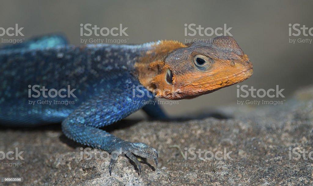 Rainbow agama, rock lizard, Lake Nakuru, Kenya. royalty-free stock photo