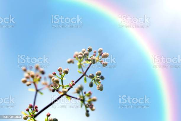 Rainbow and blooming lilac (Syringa) against the blue sky