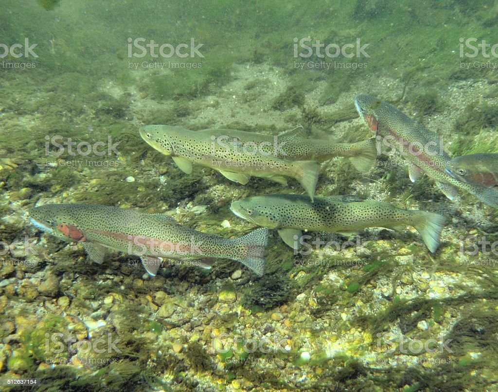 Rainbow and Brown Trout stock photo