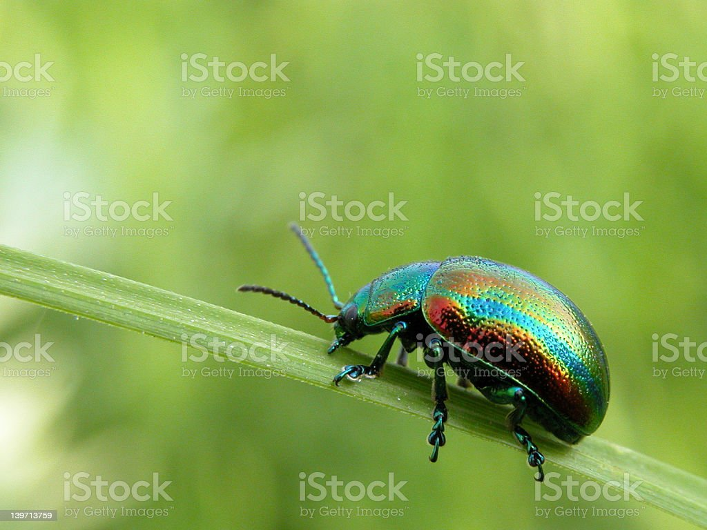 Rainbow beetle on a leaf royalty-free stock photo