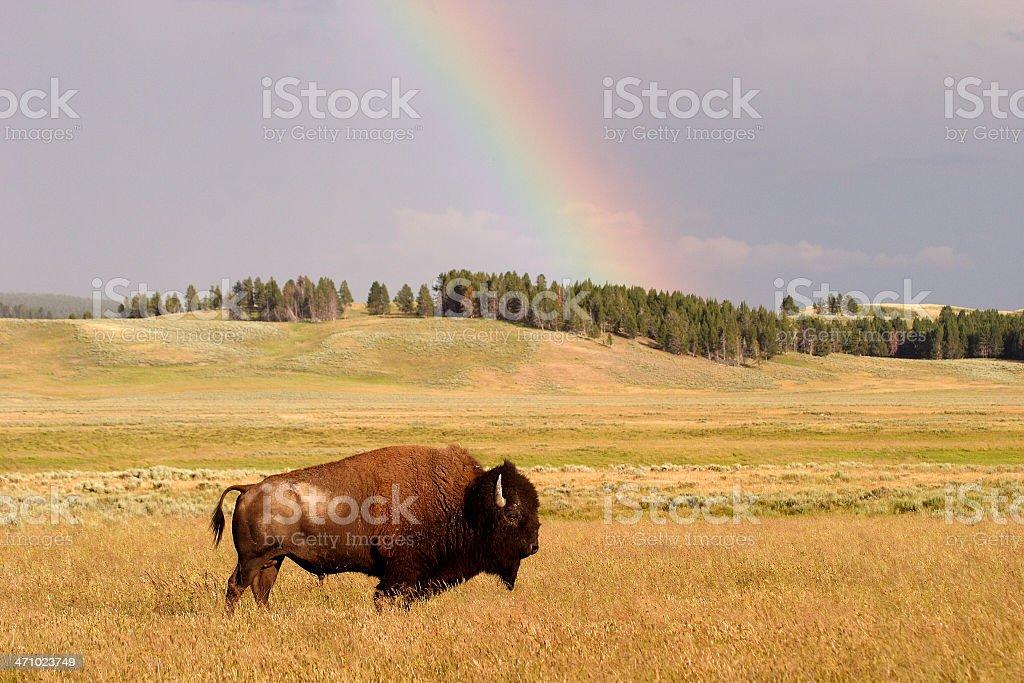 Bison d'arc-en-ciel - Photo