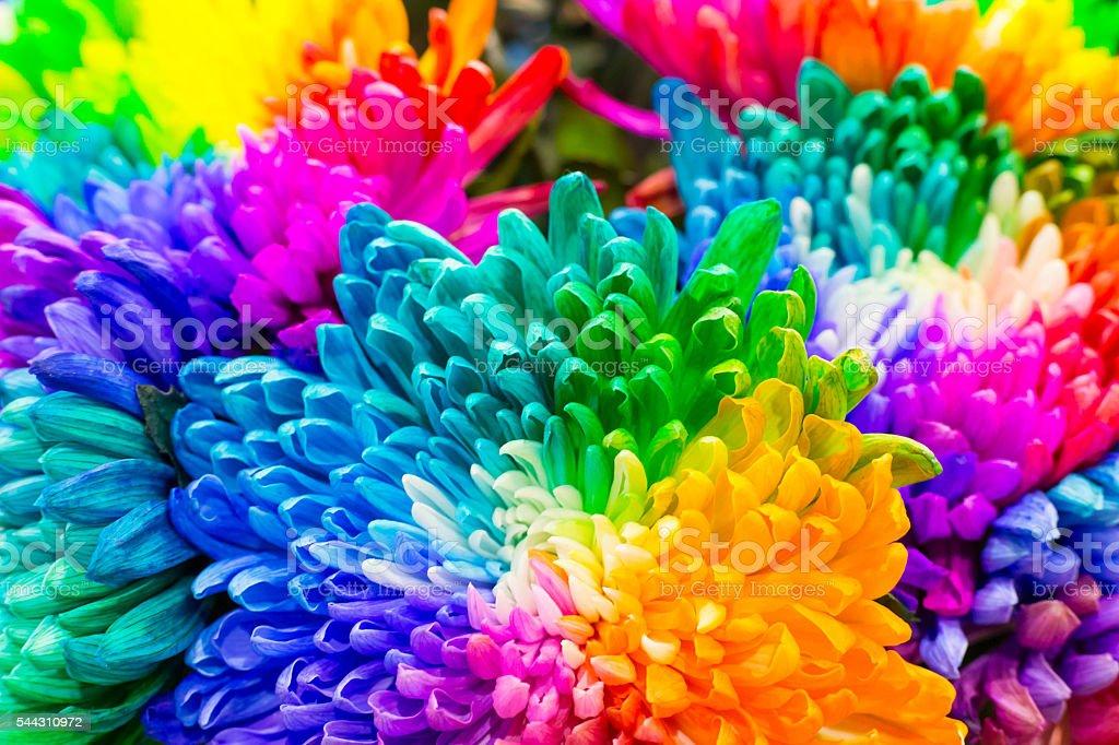 Rainbow colored chrysanthemums flowers stock photo