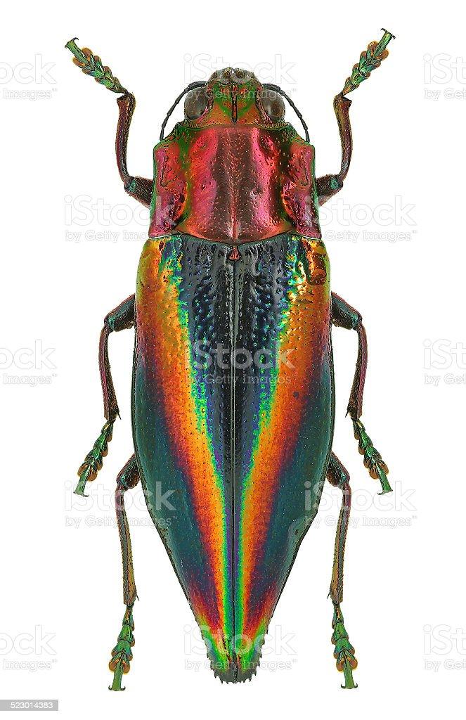 Rainbow coloured Jewel beetle Cyphogastra javanica from Indonesia stock photo