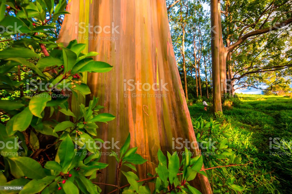 rainbow eucalyptus in maui stock photo more pictures of beauty