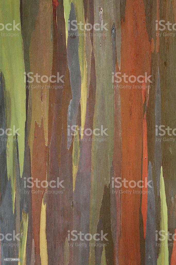 Rainbow eucalyptus tree trunk royalty-free stock photo