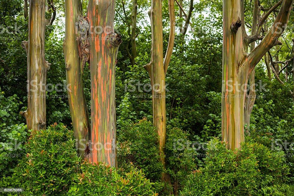 rainbow eucalyptus trees on the road to hana maui stock photo more