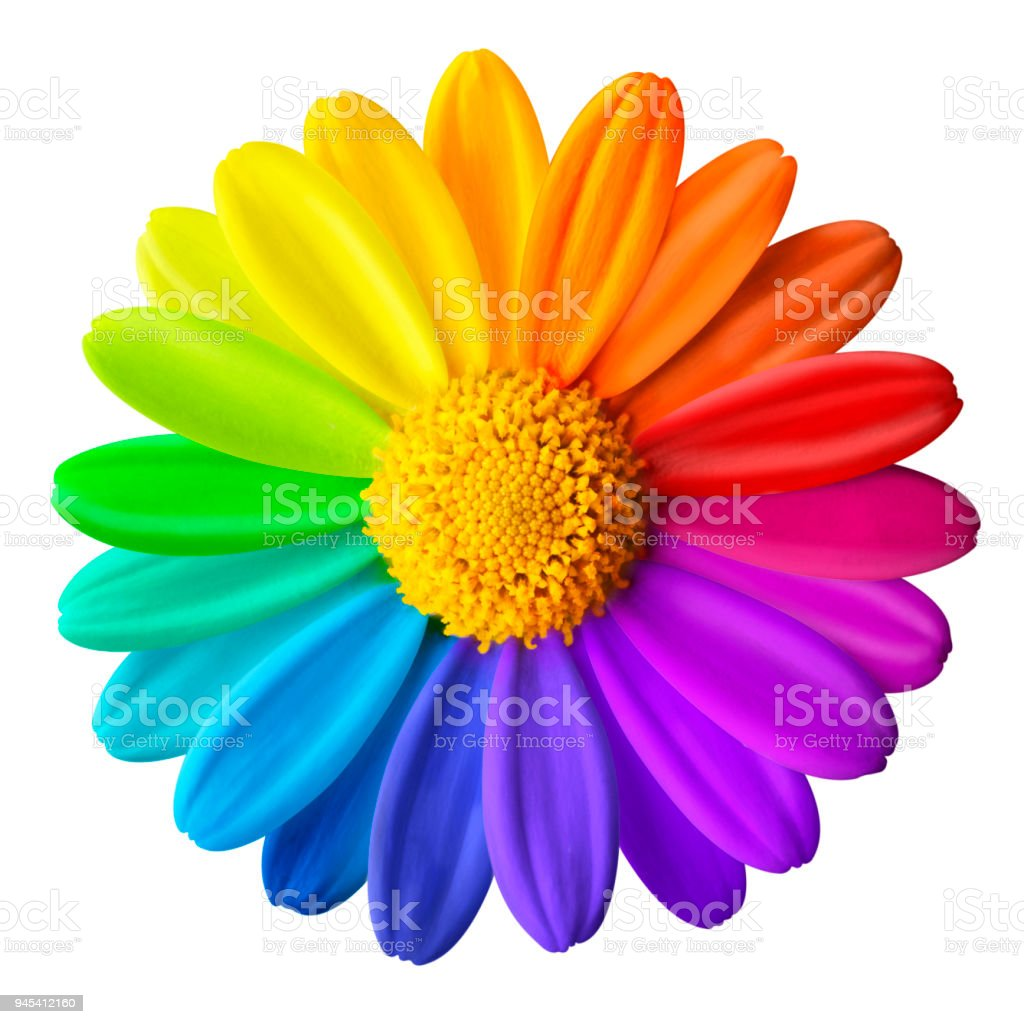 Rainbow flower. Colored daisy on a white background - foto stock