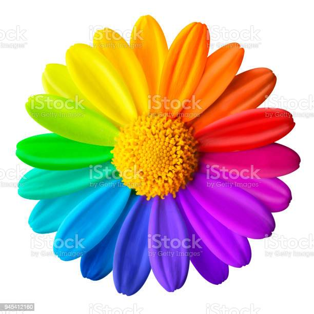 Photo of Rainbow flower. Colored daisy on a white background