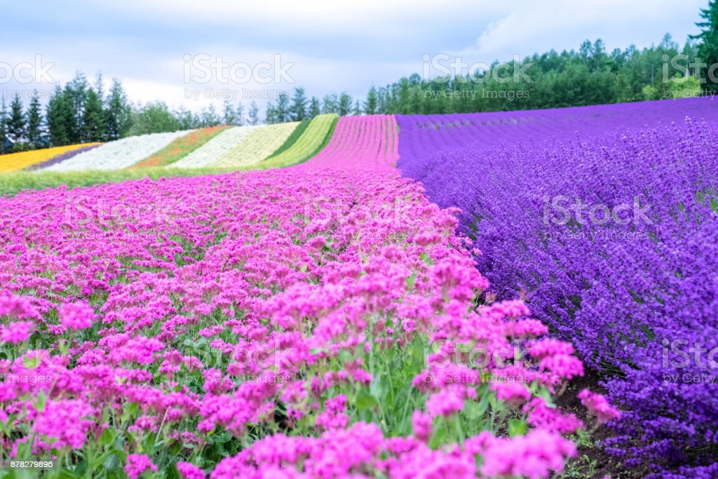 Rainbow Flower Field Colorful Pink Flower And Violet Lavender Flower