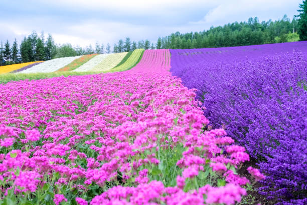 rainbow flower field, colorful pink flower and violet lavender flower, furano, hokkaido in japan - sapporo stock photos and pictures