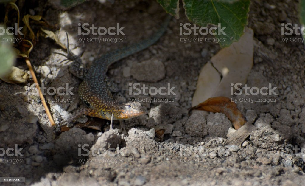 Rainbow garden lizard stock photo