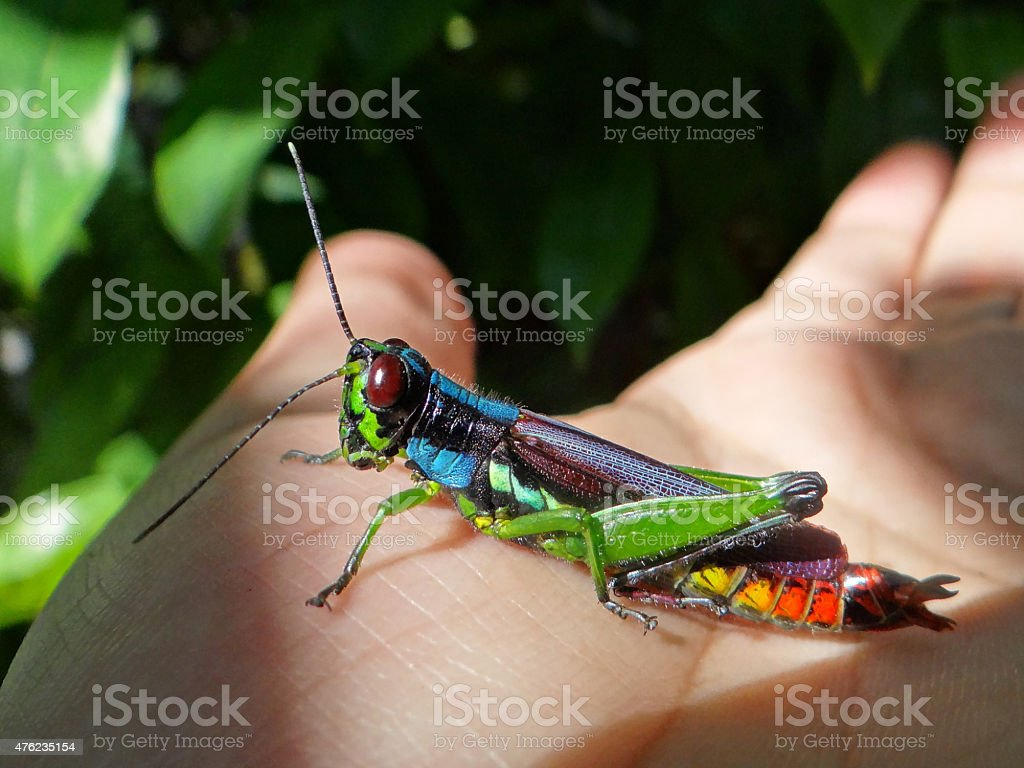 Rainbow Grasshopper stock photo