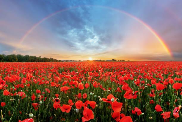 Rainbow Landscape over poppy field stock photo