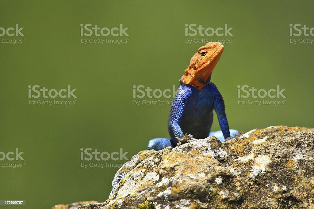 rainbow lizard on the rock stock photo