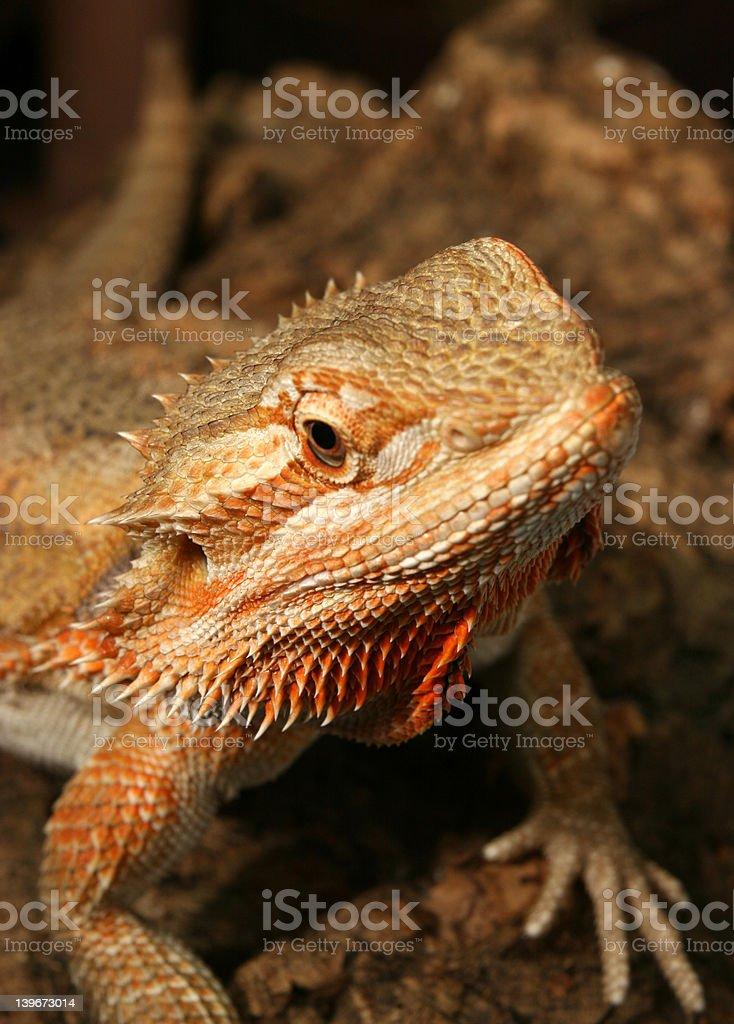 Rainbow Lizard stock photo