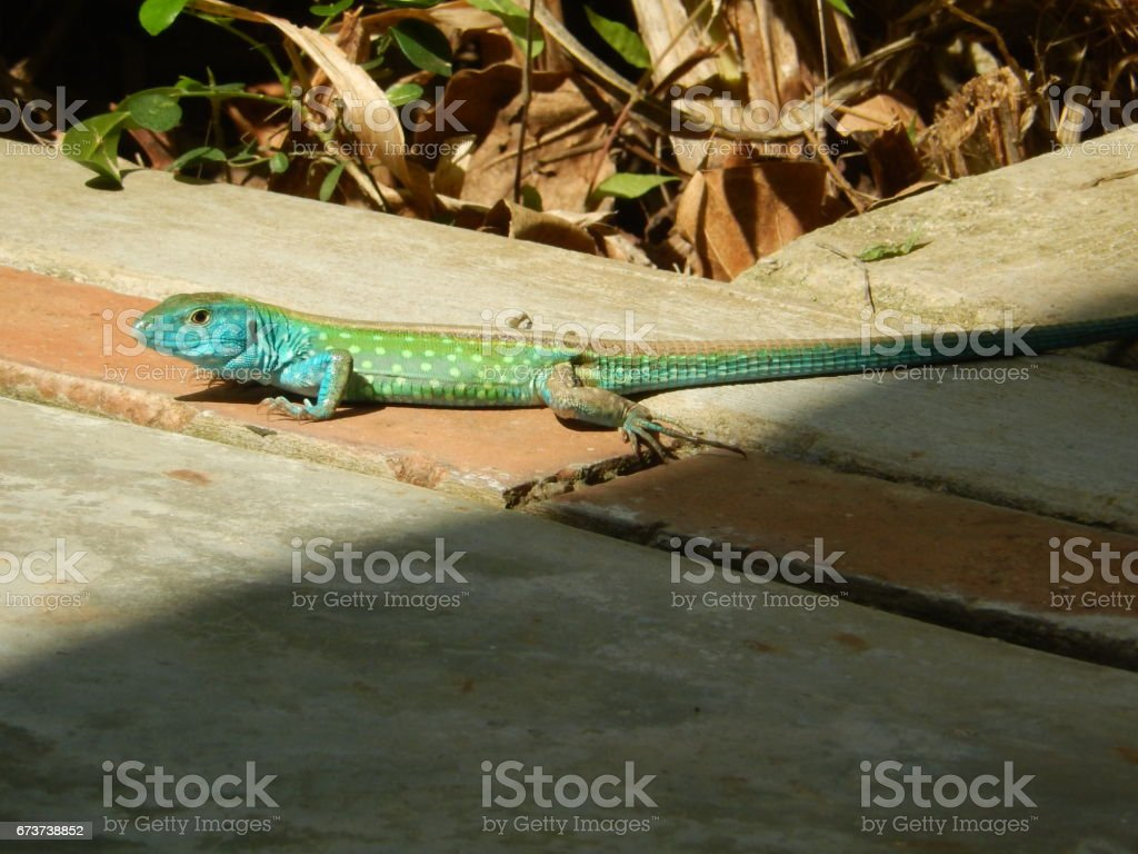 Rainbow lizard photo libre de droits