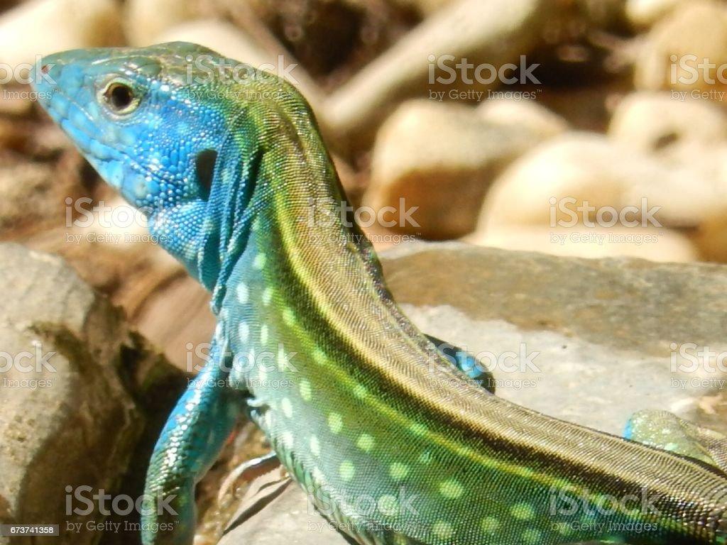 Rainbow lizard royalty-free stock photo