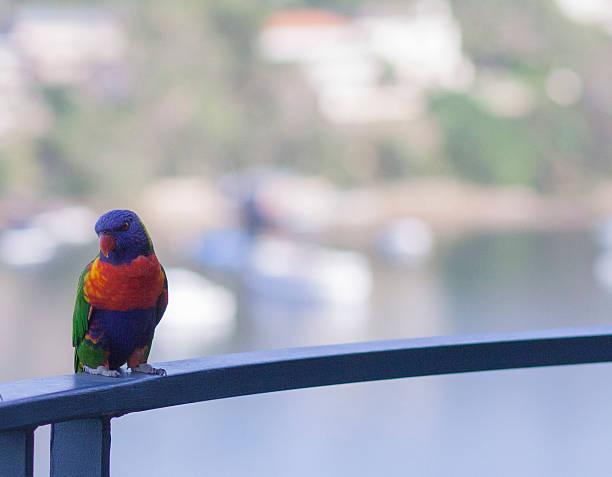Rainbow Lorikeet, Australian Native bird stock photo