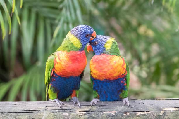 rainbow lorikeet, beautiful parrots - kiss стоковые фото и изображения