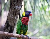 The Beautiful Rainbow Lorikeet Blue Head Parrot