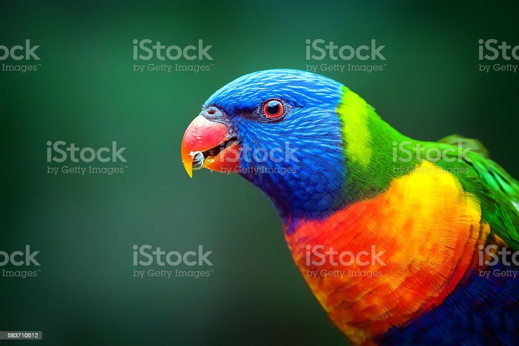 Rainbow Lorikeet Close-up - Royalty-free Animal Stock Photo