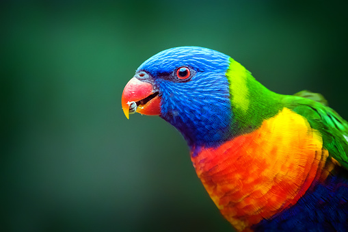 close-up portrait of an Australian native Rainbow Lorikeet