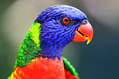 Rainbow lorikeet (Trichoglossus moluccanus) Close-up Portrait, Sydney, Australia.