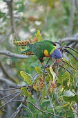 Rainbow lorikeet on a branch exploring for food