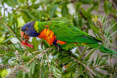 Trichoglossus moluccanus perched on branch in the wild eating nectar