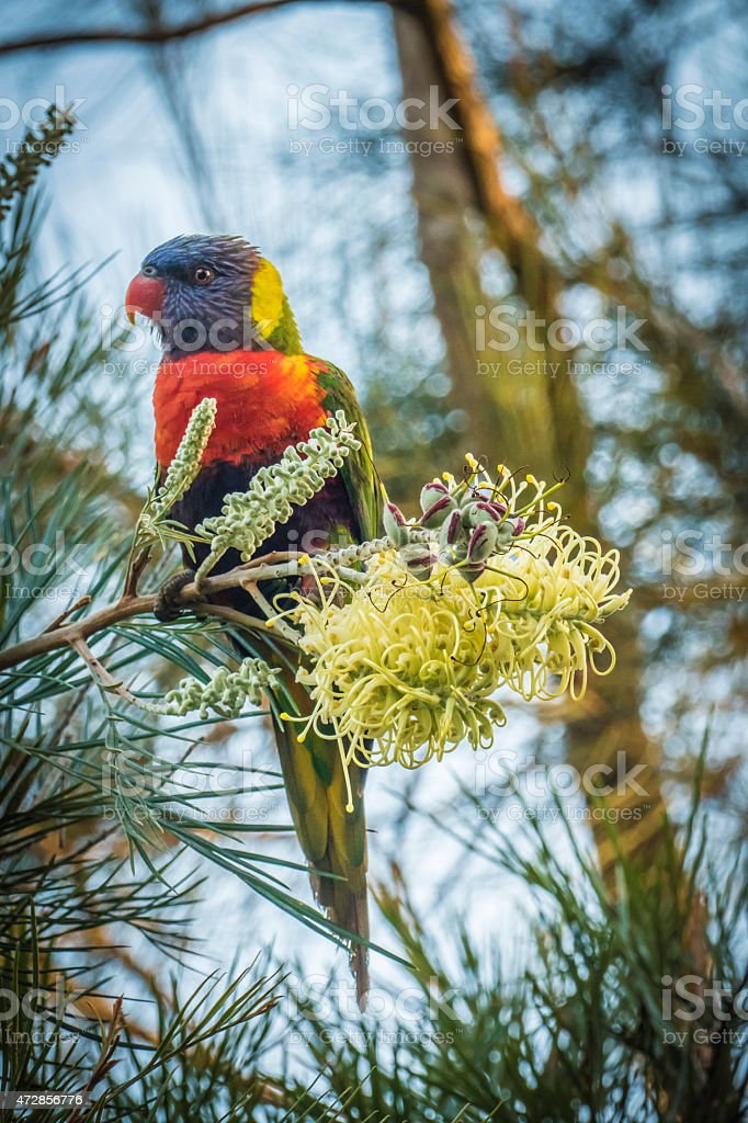 Rainbow Lorikeet Perching after Feeding on Grevillea Flower, Australia​​​ foto