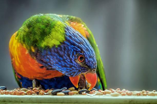 Rainbow Lorikeet  (Trichoglossus moluccanus) stock photo