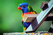 The rainbow lorikeet is a species of parrot found in Australia. It is common along the eastern seaboard, from northern Queensland to South Australia. Its habitat is rainforest, coastal bush and woodland areas.