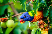 Rainbow lorikeet stealing fruit from an apple tree
