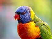 Closeup photo of a beautiful vibrant wild Rainbow Lorikeet perching on a suburban backyard fence on the south coast of NSW